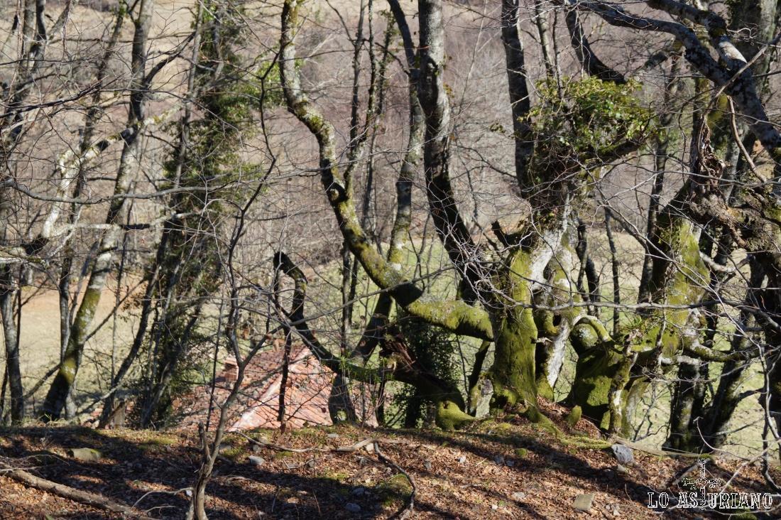 Musgos en los troncos de las hayas.