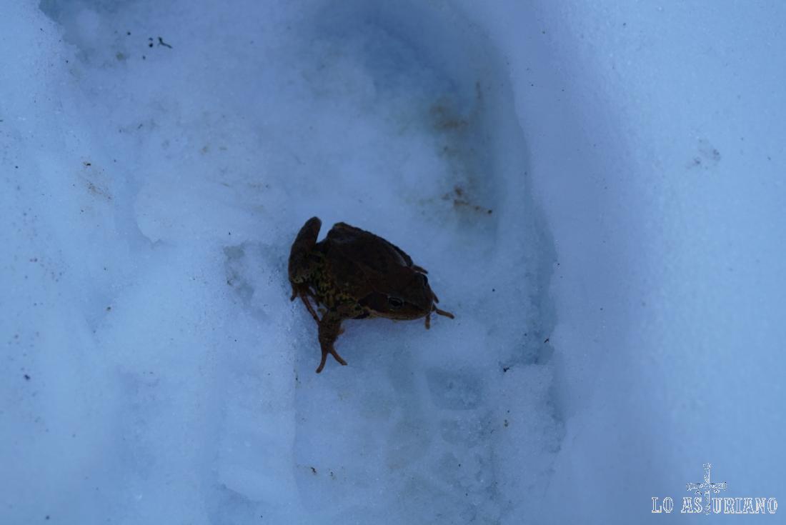 Rana en la nieve.