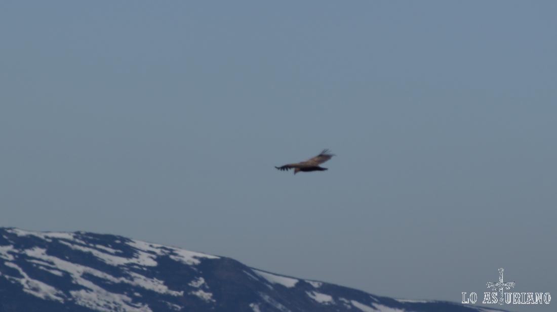 Imagino de que se trata de un águila real. Si no es así, me corrijan, por favor!