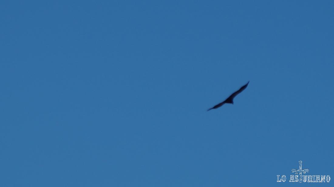 El águila real/buitre (¿?).