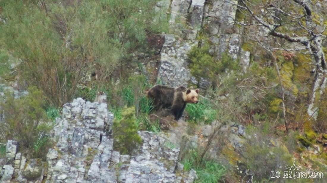 El oso nos ha visto hace rato, pero él sigue a la suya tranquilamente.