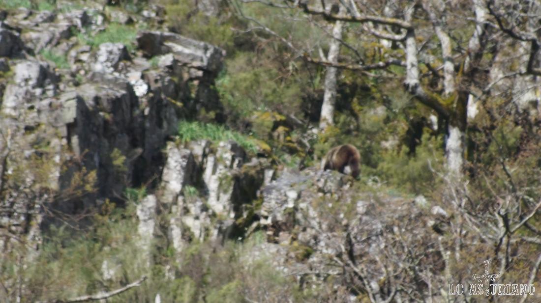 Poco a poco, el oso va subiendo la pendiente, para desaparecer pronto entre la maleza.