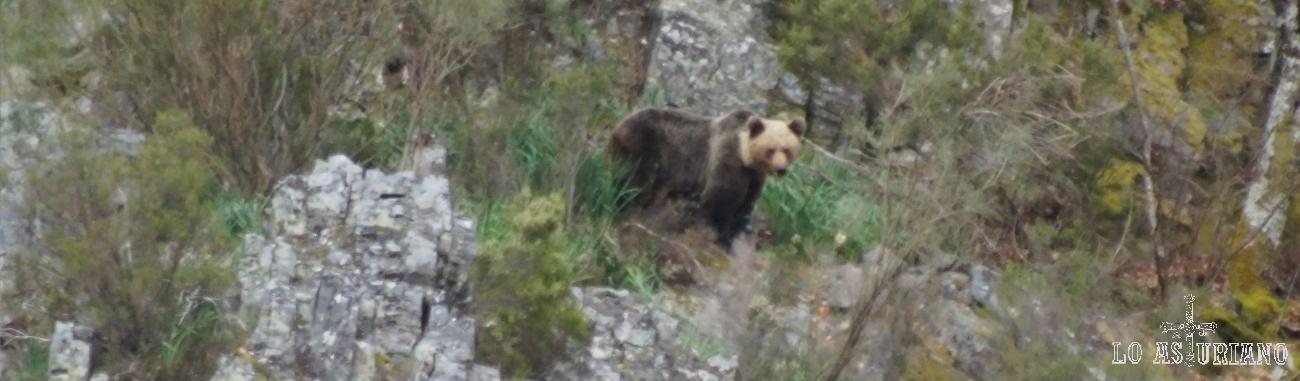 El oso pardo cantábrico, uno de los de menor tamaño de la especie.