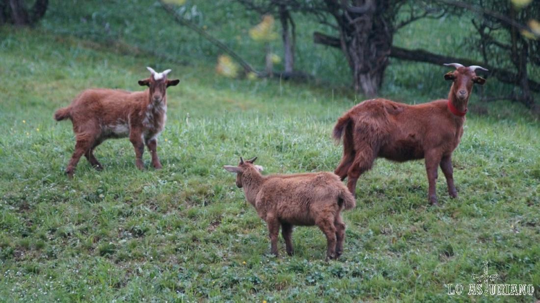 Grupo de cabras en el prau de Entrago, concejo de Teverga, al lado de la senda del oso.