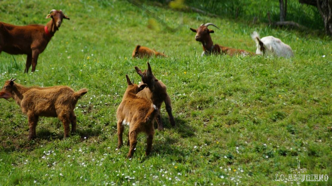 En la primavera las jóvenes cabras juegan y desarrollan sus instintos.