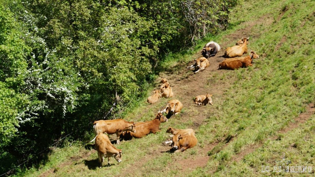 Vacas en la majada de Aguino.