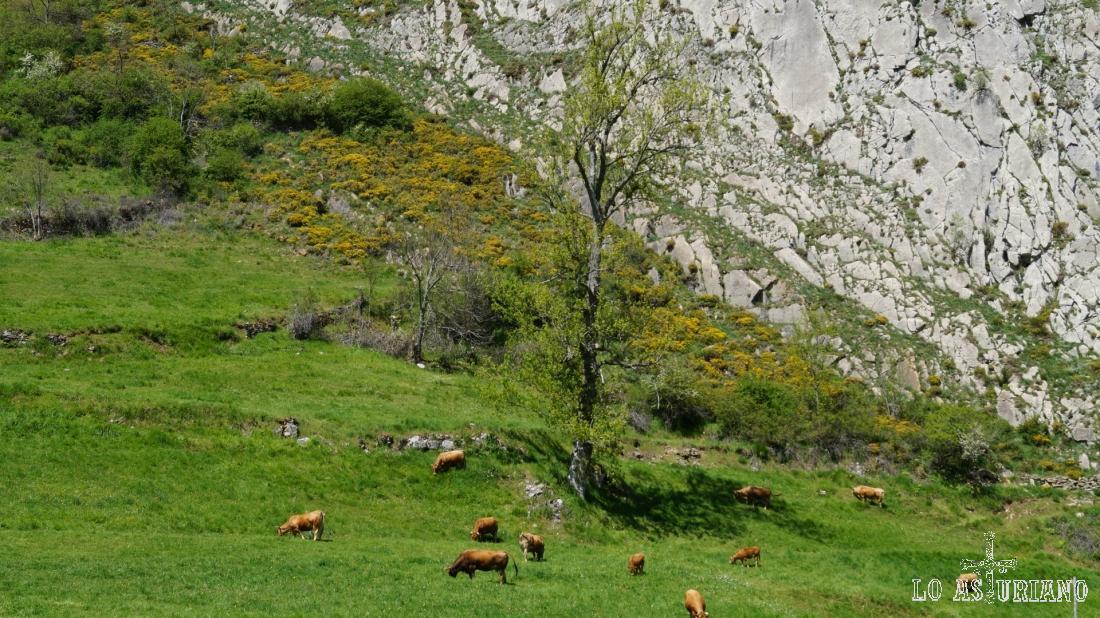 Vacas en Cordas.