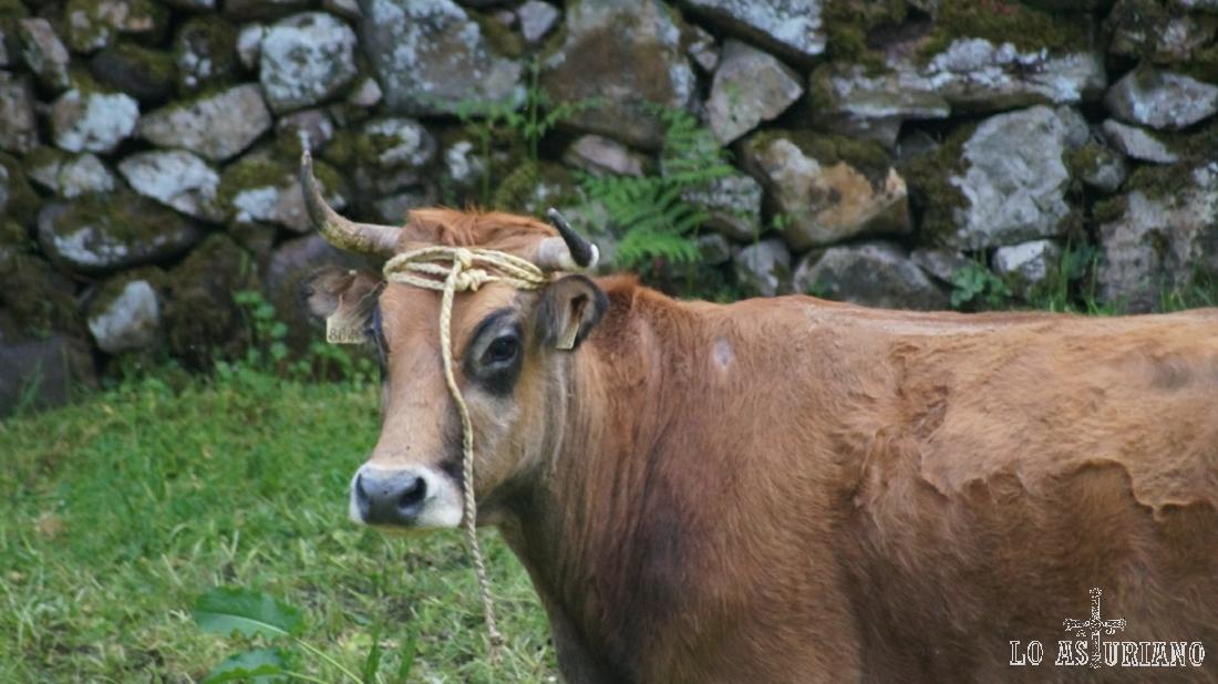 La vaca todavía con los cordajes en la cabeza.