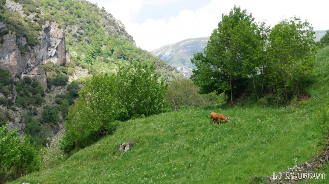 Vaca en las praderías de Aguino, Somiedo.