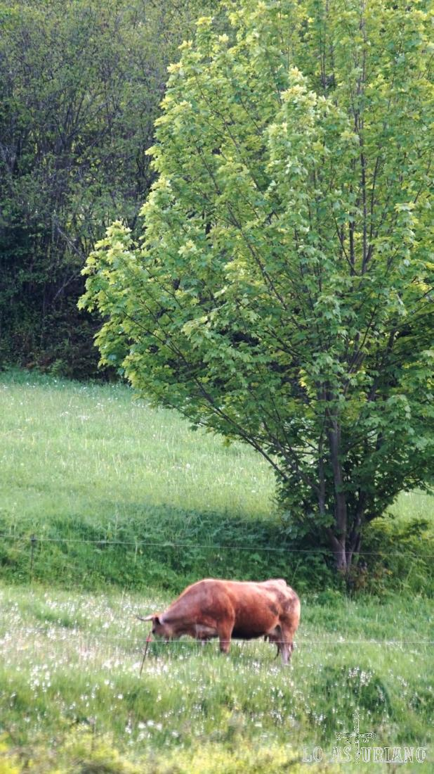 Vaca en las partes altas de los praus.