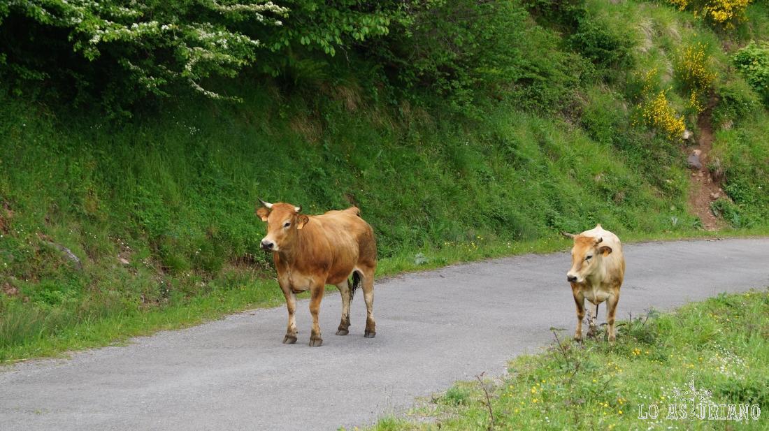 Vacas subiendo sólas por la carretera, algo de lo más habitual.
