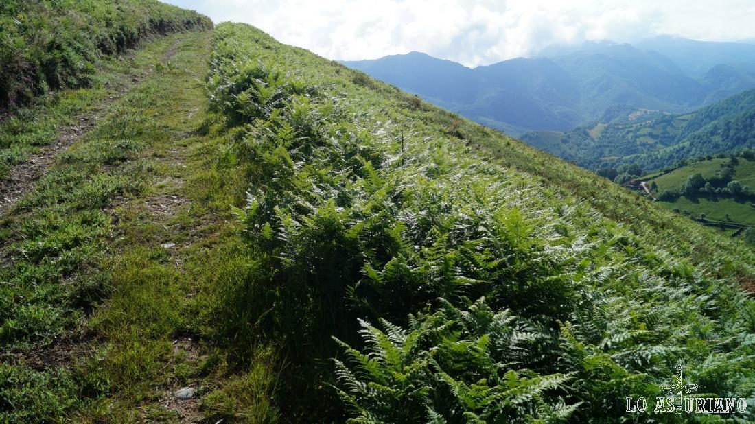 Que magnífico felechal, regado por las perpetuas lluvias de la Cordillera.