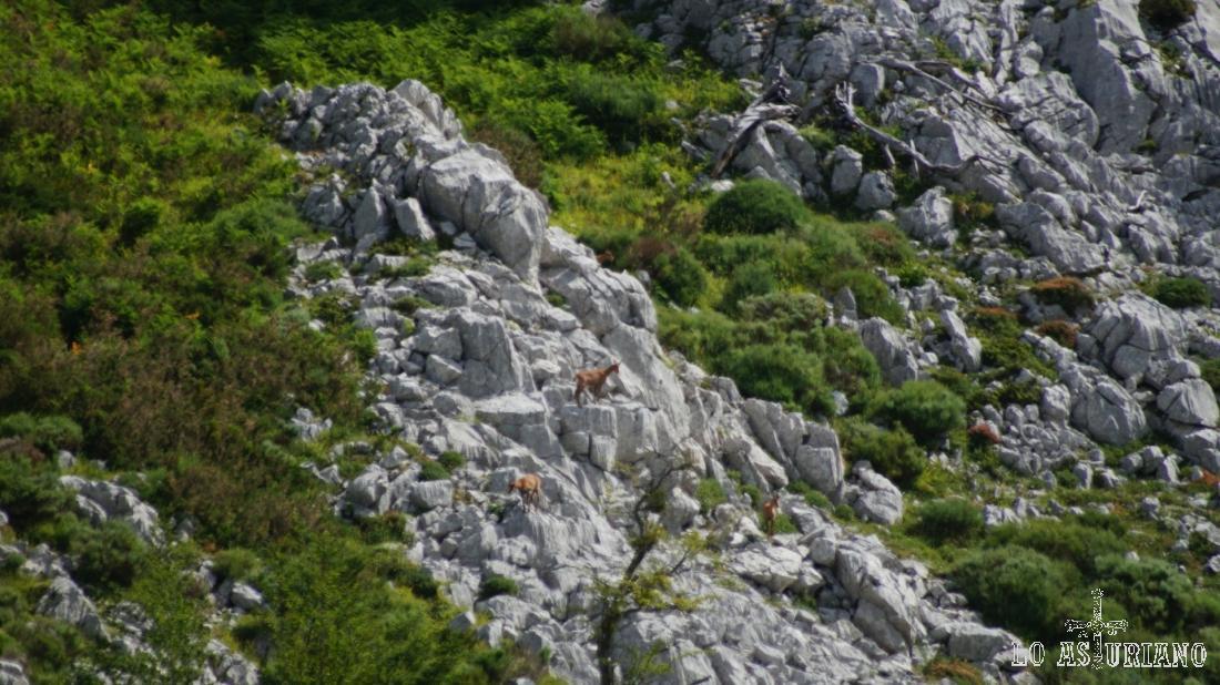 Tres ejemplares de rebeco en el pedregal del entorno de la cima.