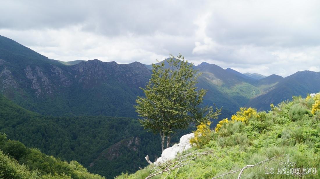 El árbol, colgado de la pendiente, y las vistas hacia Somiedo.