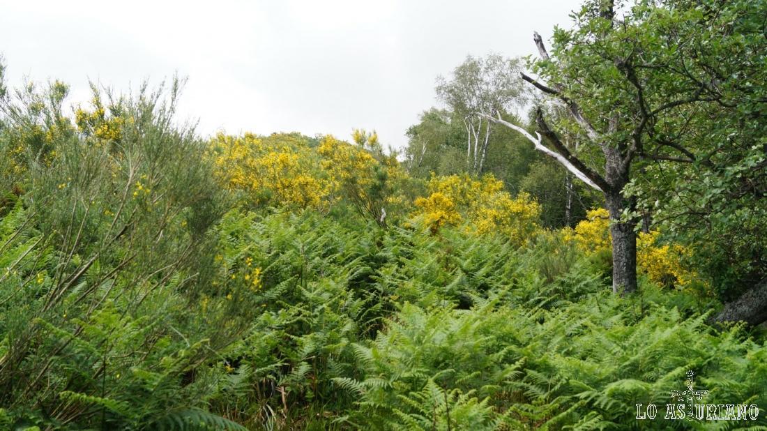 Después del bosquecillo, encontramos este tremendo helechal, que apenas nos enseña la senda.