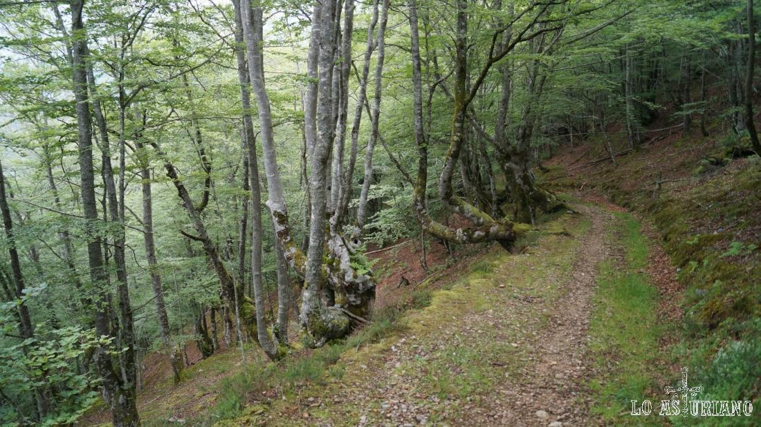 Camino de bajada por el hayedo del Pando, Teverga.