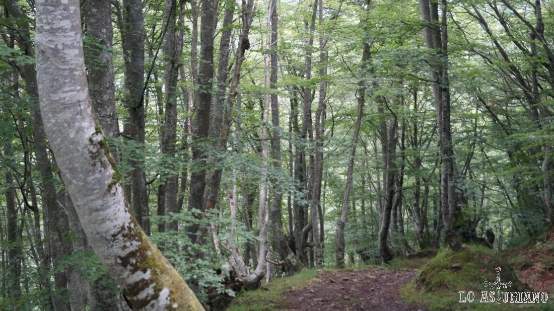 Gracias a la sombría ladera y a la lluvia, que nunca falta, la dominante haya coloniza el monte.