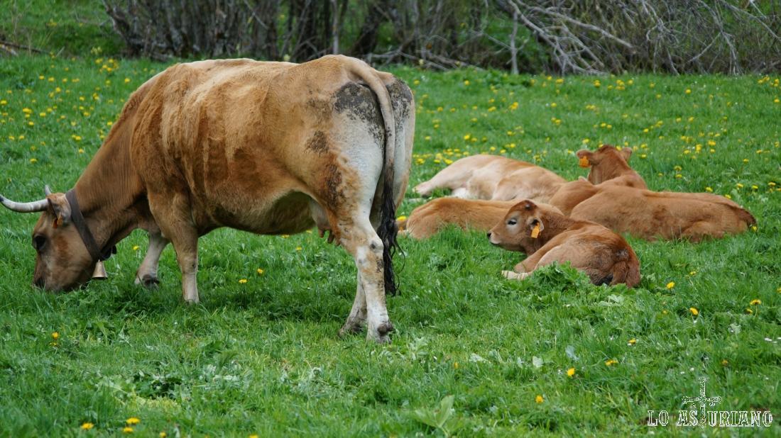Vacas Somiedo