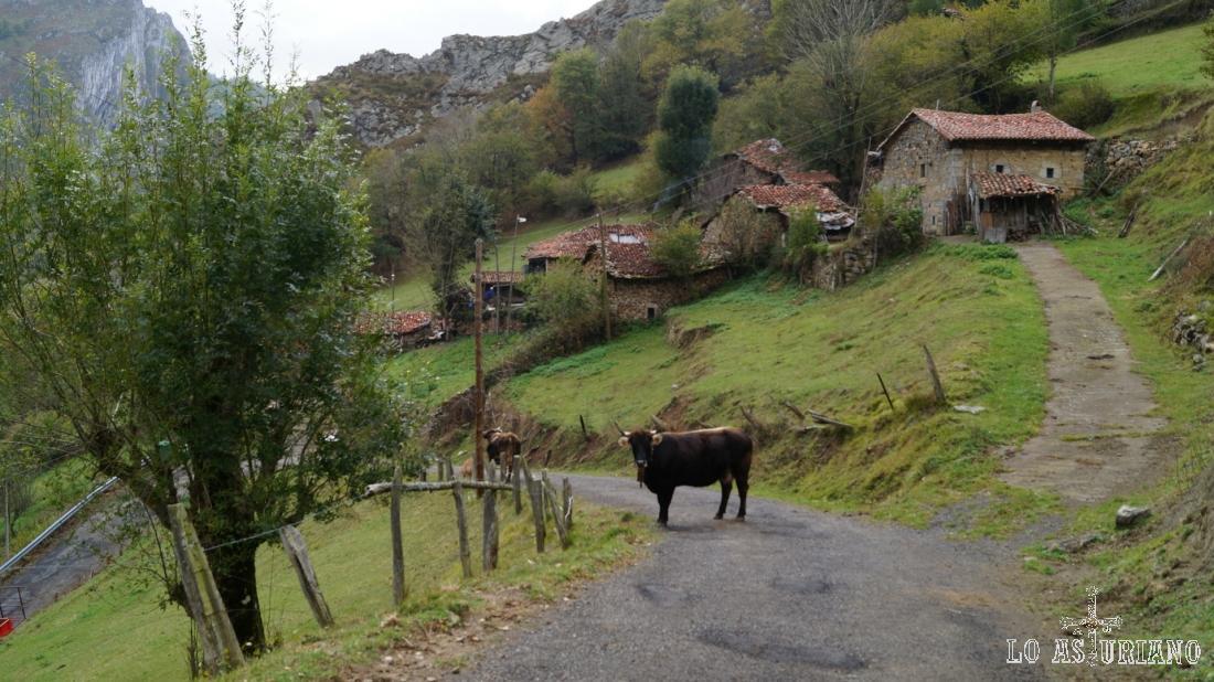 El toro nos espera a la entrada de Casielles.