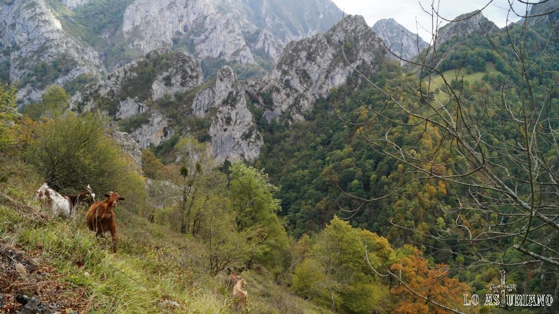 Cabricas en las laderas de El Candanal, con el desfiladero de Los Beyos al fondo.