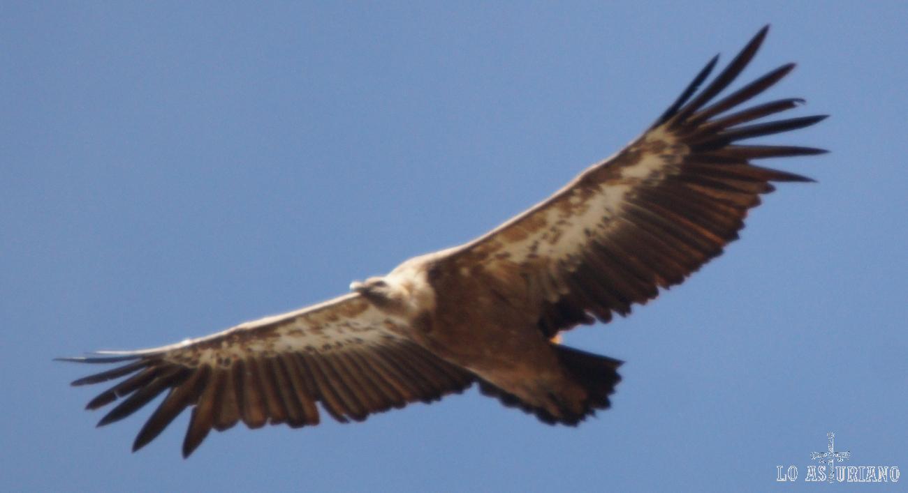 Buitre en el Parque Natural de Somiedo.