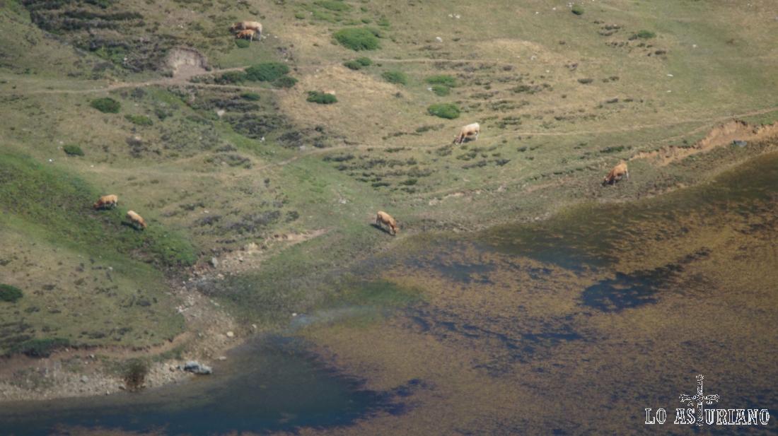 Vacas en el lago de Cerveiriz, Somiedo.