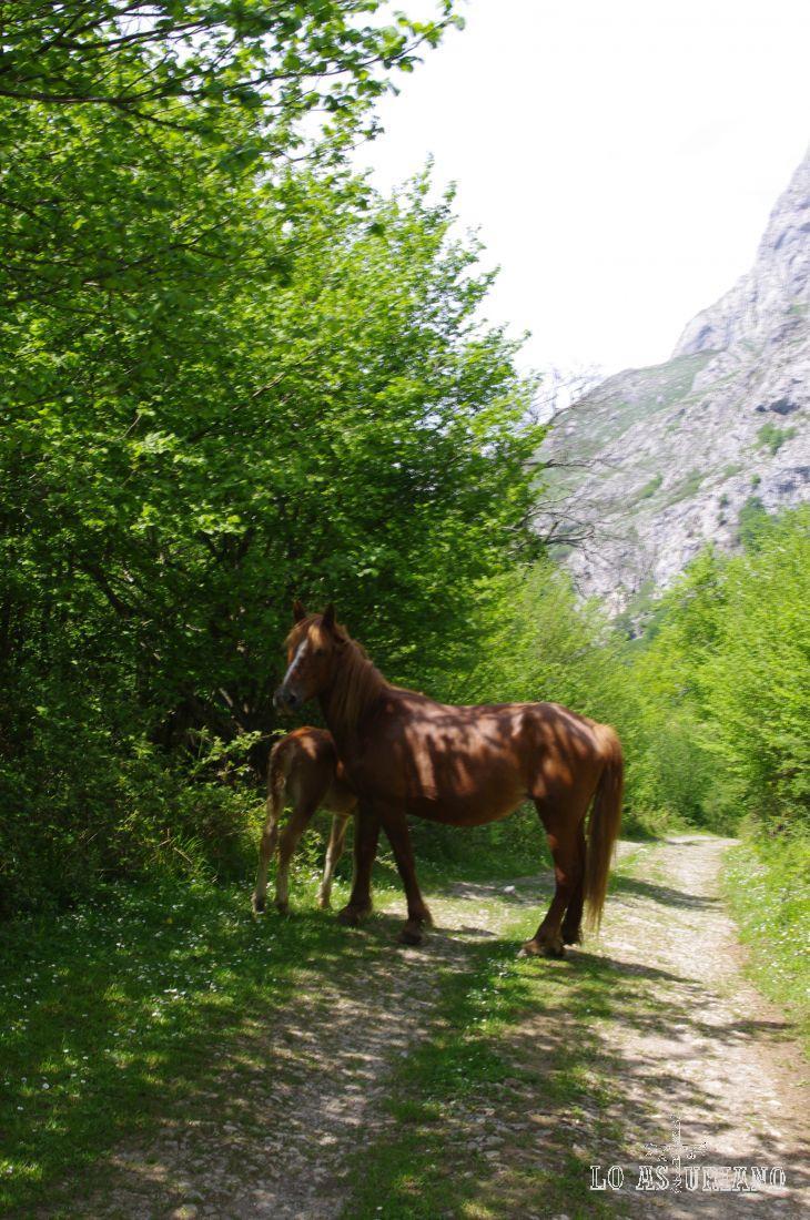 Yegua celosa de su potrillo, en un camino de Amieva.