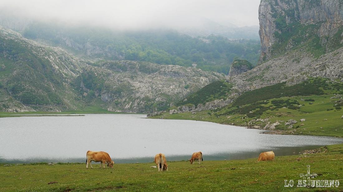 Vacas pastando en las praderías del lago de la Ercina.
