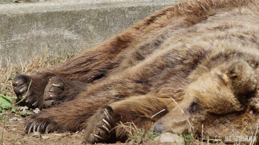 Paca y Tola son las dos osas de más edad del cercado osero.