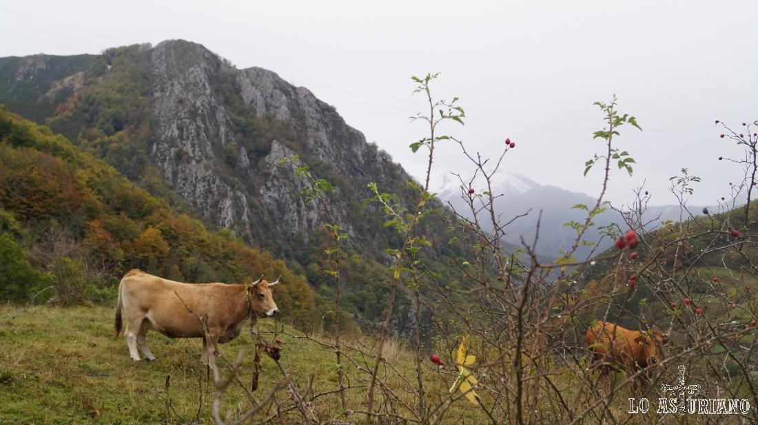 Vacas en la Pontonciella.