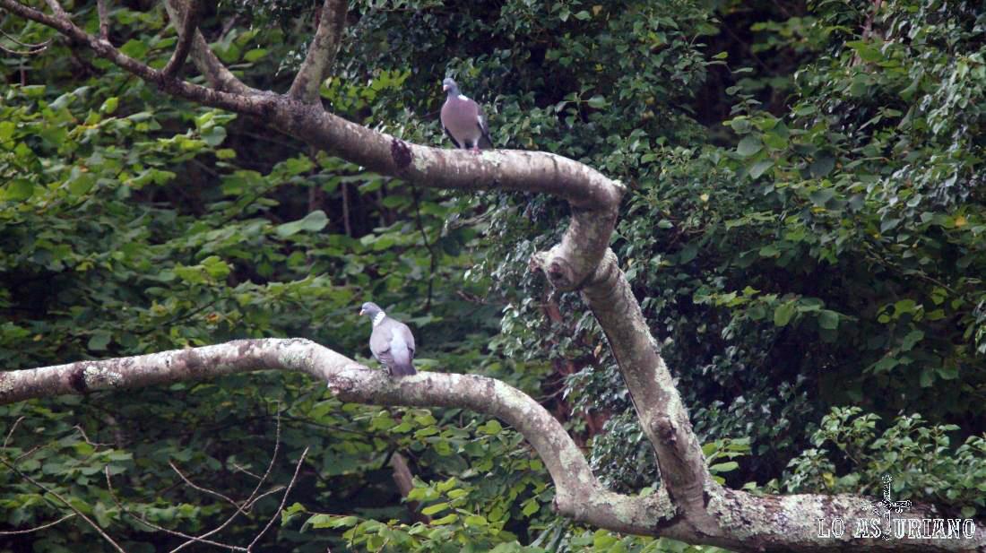Palomas en los árboles de Valdemurio.