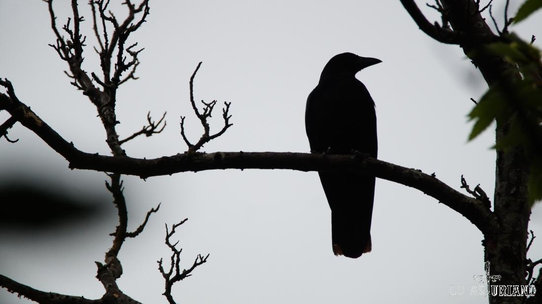 Cuervo o en asturiano cuervu.