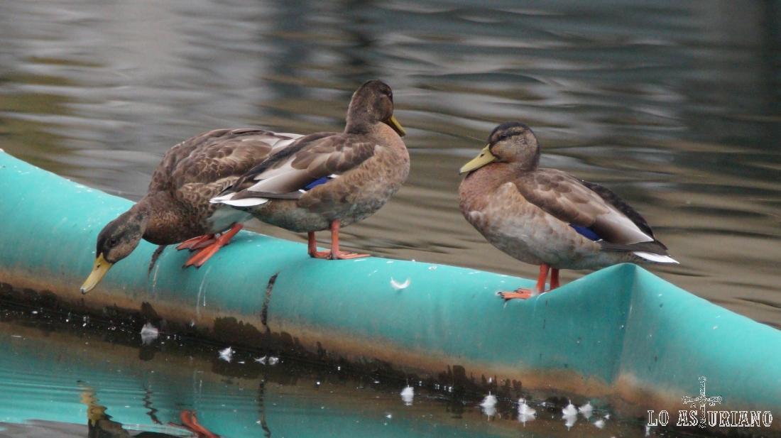 """Patos descansando en el """"dique"""" de plástico del embalse de Valdemurio."""