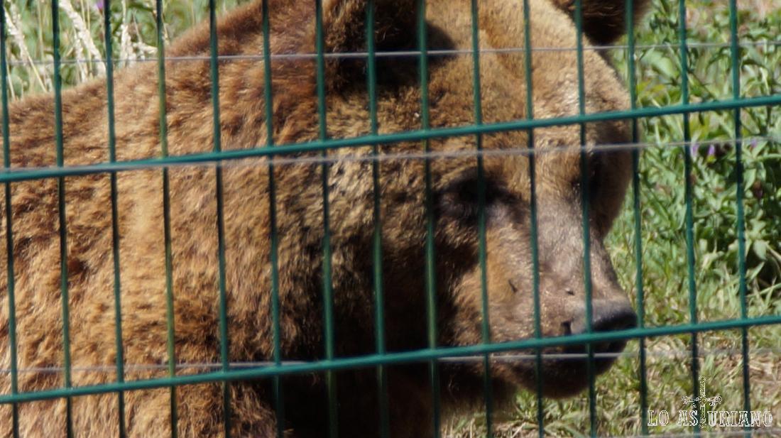 El oso pardo Furaco, que puedes ver, pasando por la senda del oso, a la altura del cercado osero de La Buyera.