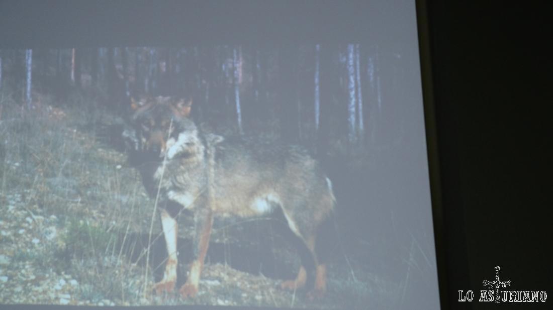En la Casa del Lobo puedes ver vídeos explicativos sobre la especie, en esta zona de Asturias.