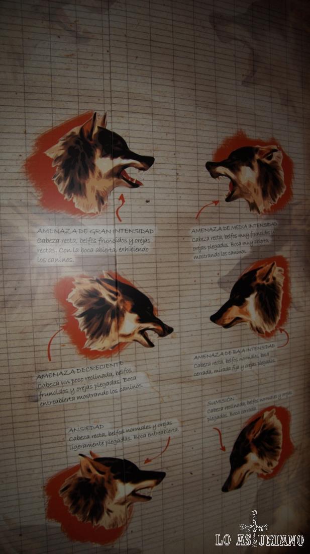 Panel explicativo de la conducta gestual del lobo ibérico.