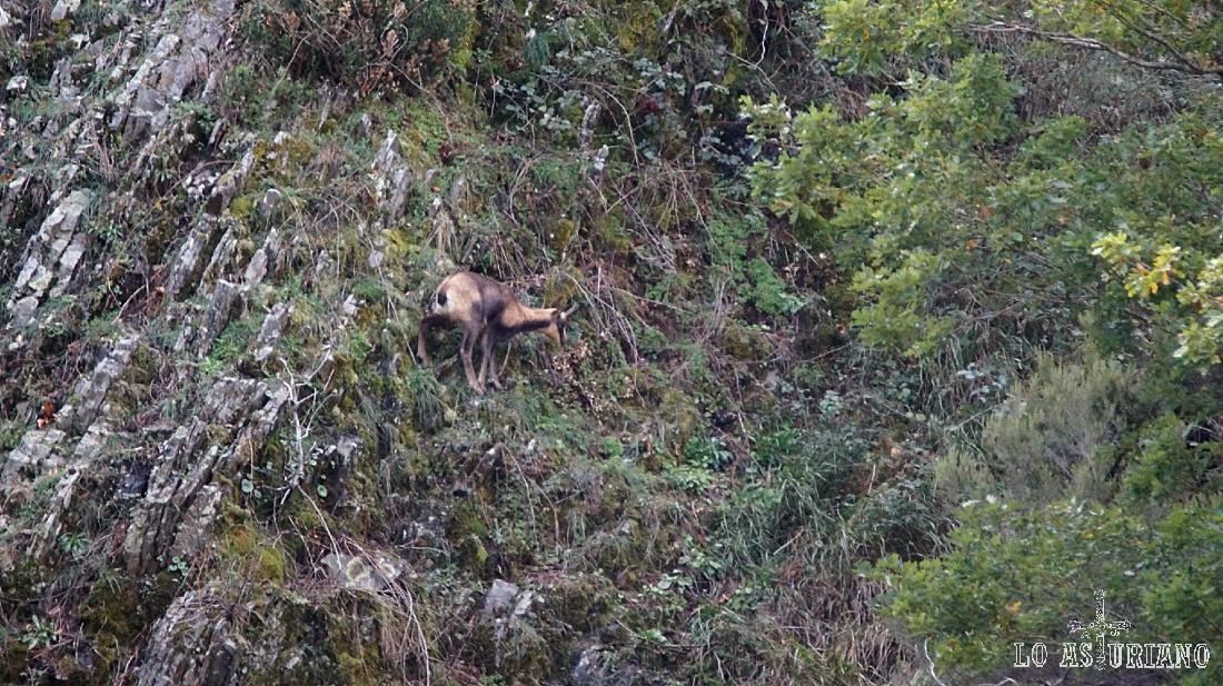 Rebeco en la sierra de Tablado, en Asturias.
