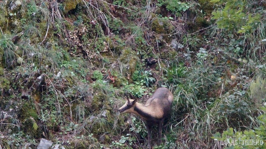 Rebeco comiendo tranquilamente en las empinadas laderas de Degaña.
