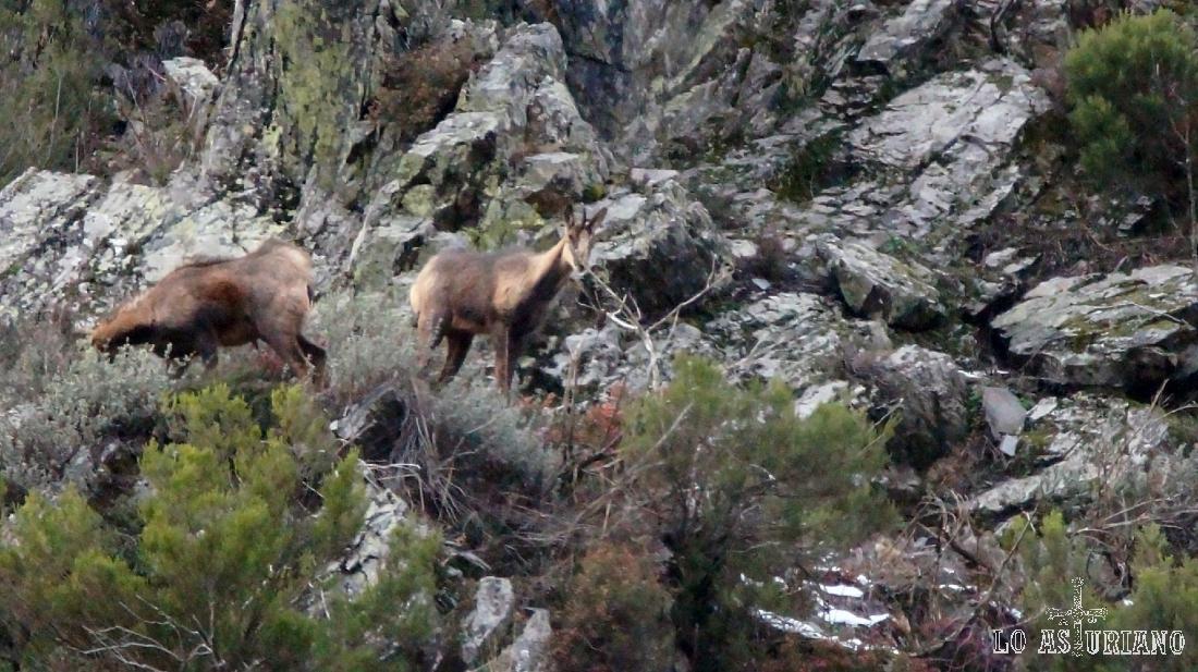 Rebecos en las zonas más altas y rocosas de la sierra de Tablado.