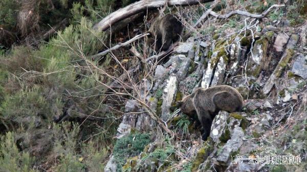 El otoño es la época con mayor abundancia de comida para el oso pardo.