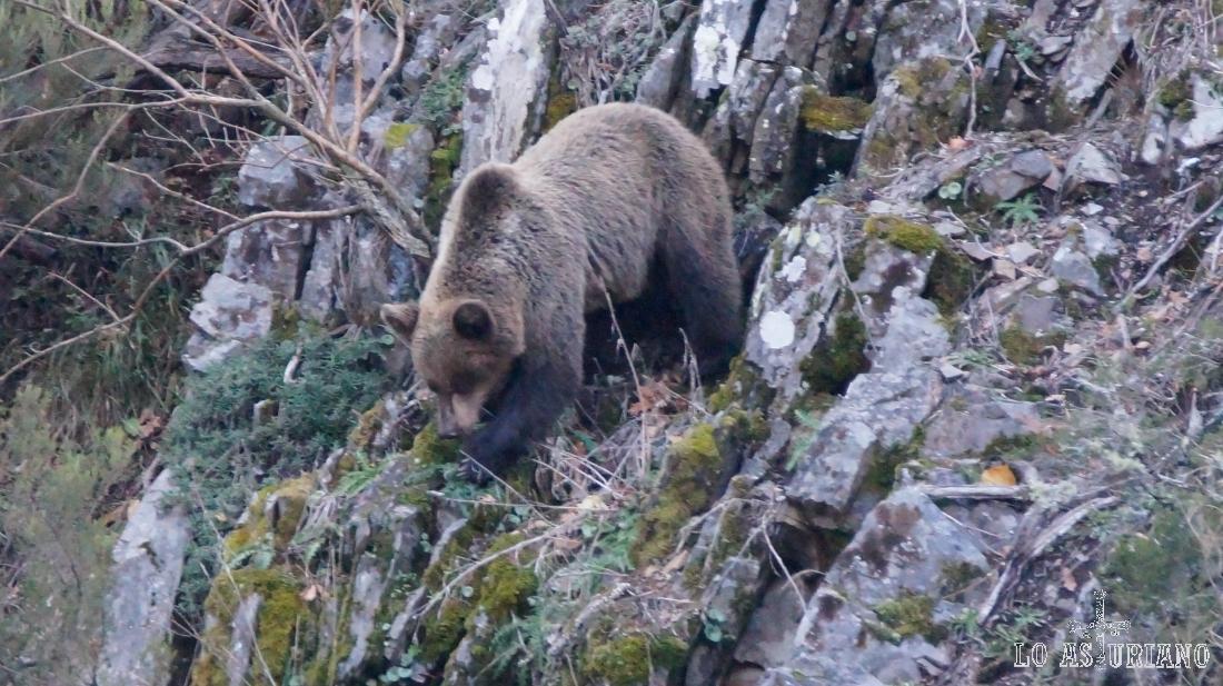 El oso pardo, que a pesar del nombre puede tener un color negro e incluso rubio o casi blanco.