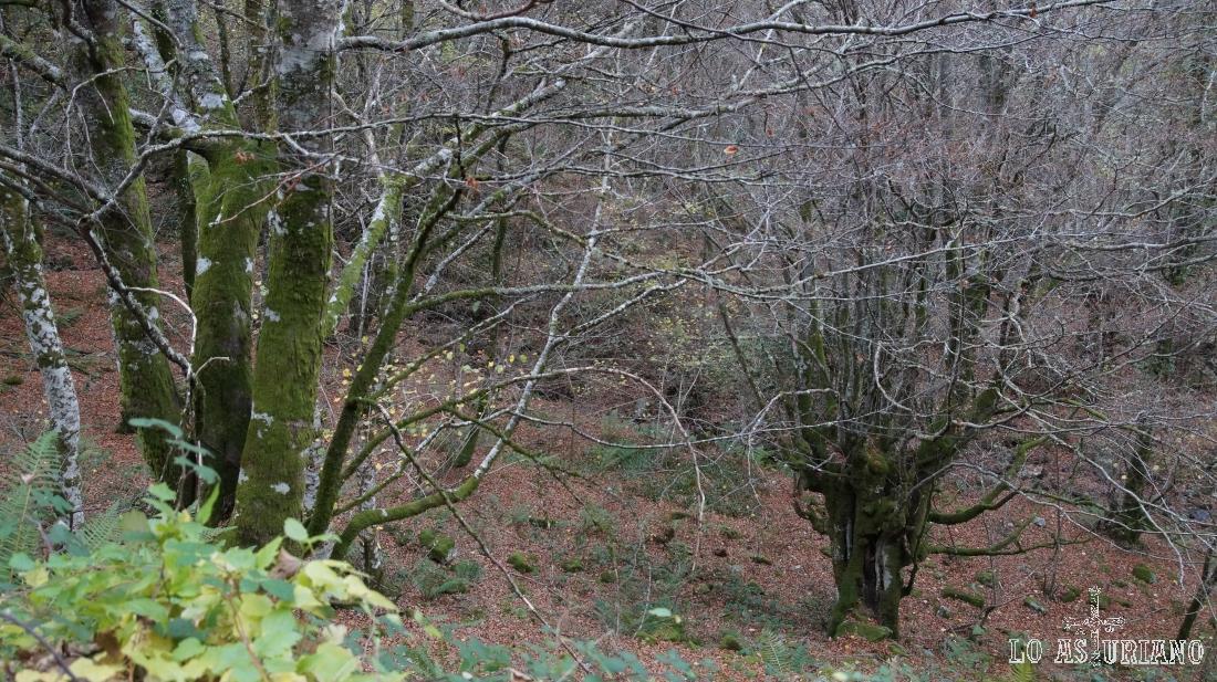 Hayedo de Hermo, Asturias.