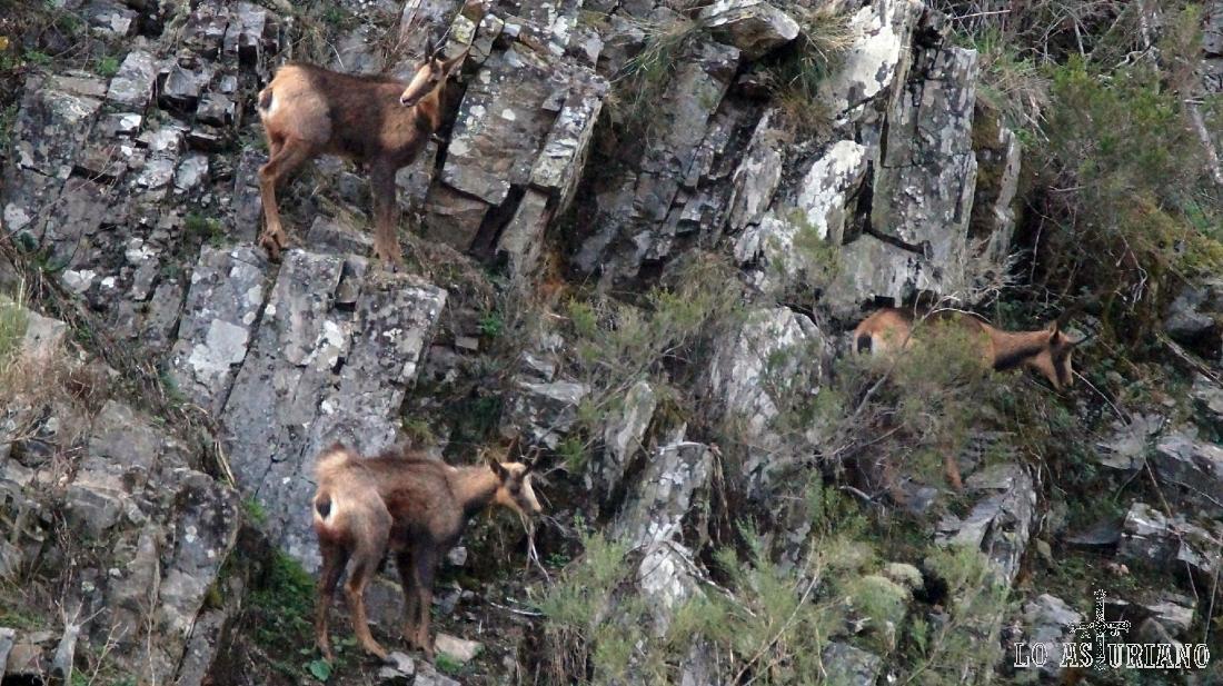 El rebeco se mueve en grupos de varios individuos, y pasa parte del tiempo vigilando su entorno.