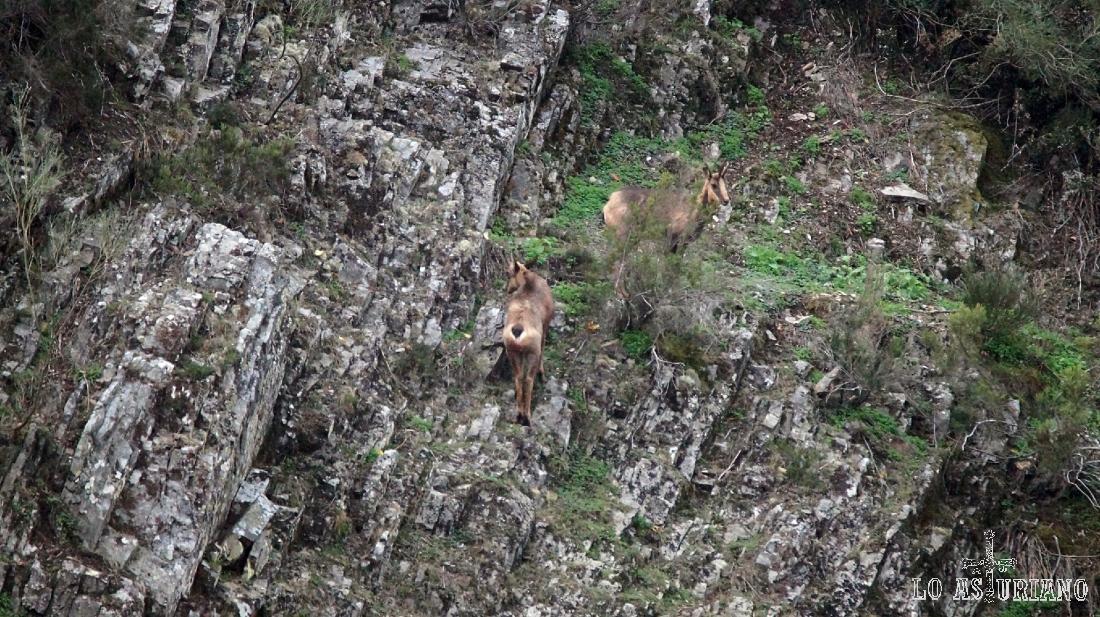 Pareja de rebecos en Fondos de Vega, Parque Natural de las Fuentes del Narcea, Degaña e Ibias.
