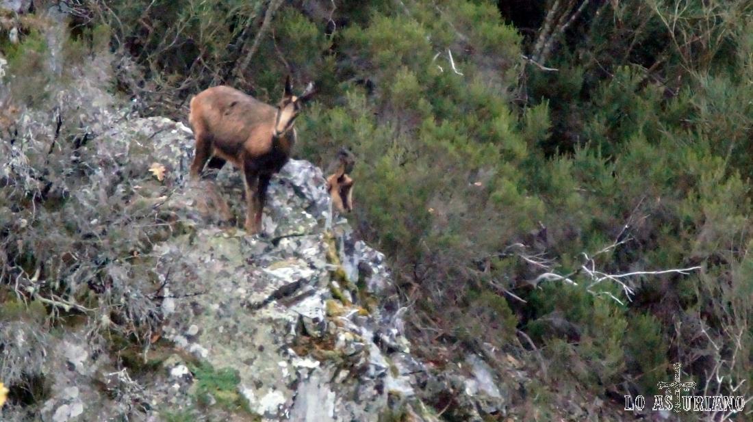 Curioso rebeco, sobre una roca.