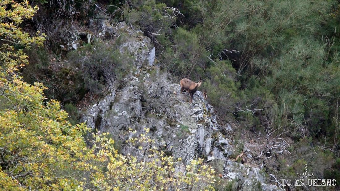 Rebeco en unas rocas, observándonos, con la curiosidad que les caracteriza.