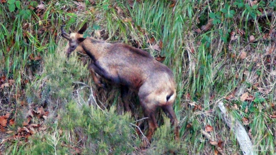 El rebeco es uno de los emblemas del Parque Natural de Redes, en Asturias.