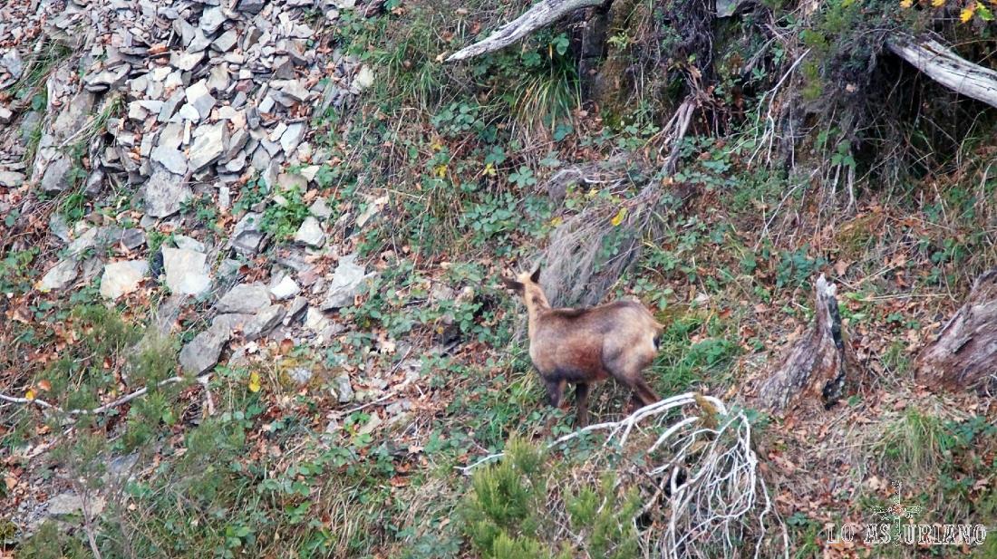 Rebecos y osos comparten laderas.