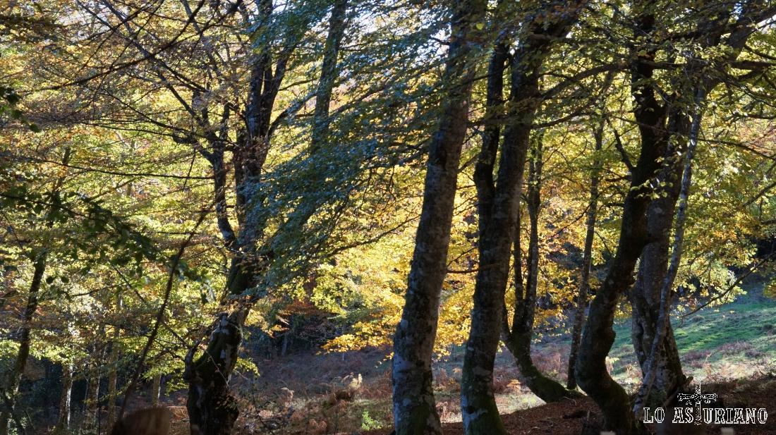 Hayas en el bosque de Peloño, en pleno otoño.