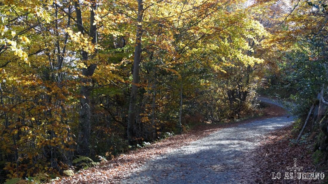 El hayedo amarillea a finales de octubre.